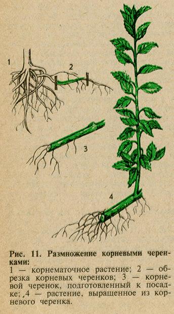 Размножение с помощью корней
