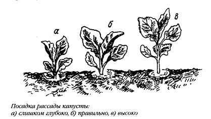 посадка рассады капусты