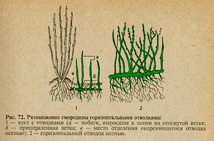 размножение смородины