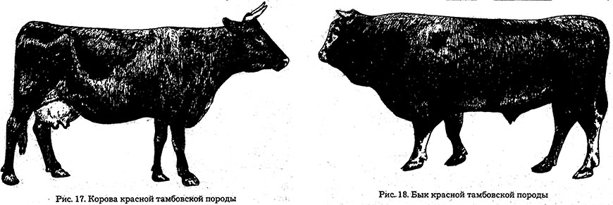 tambovskaya poroda