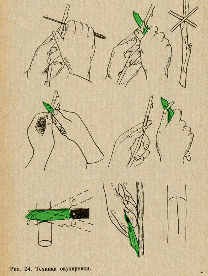 техника окулировки